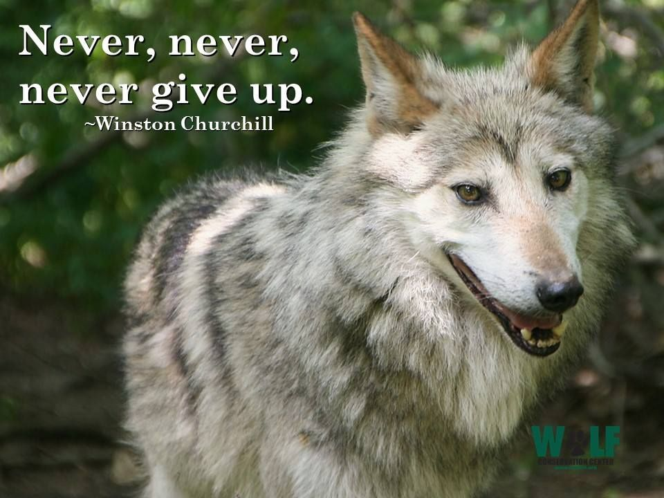 Gray Wolf--Never, Never, Never Give Up--Winston Churchill--Wolf Conservation Center Photo