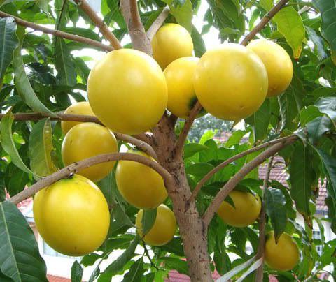 Abiu (Pouteria caimito) is a tropical fruit tree ...