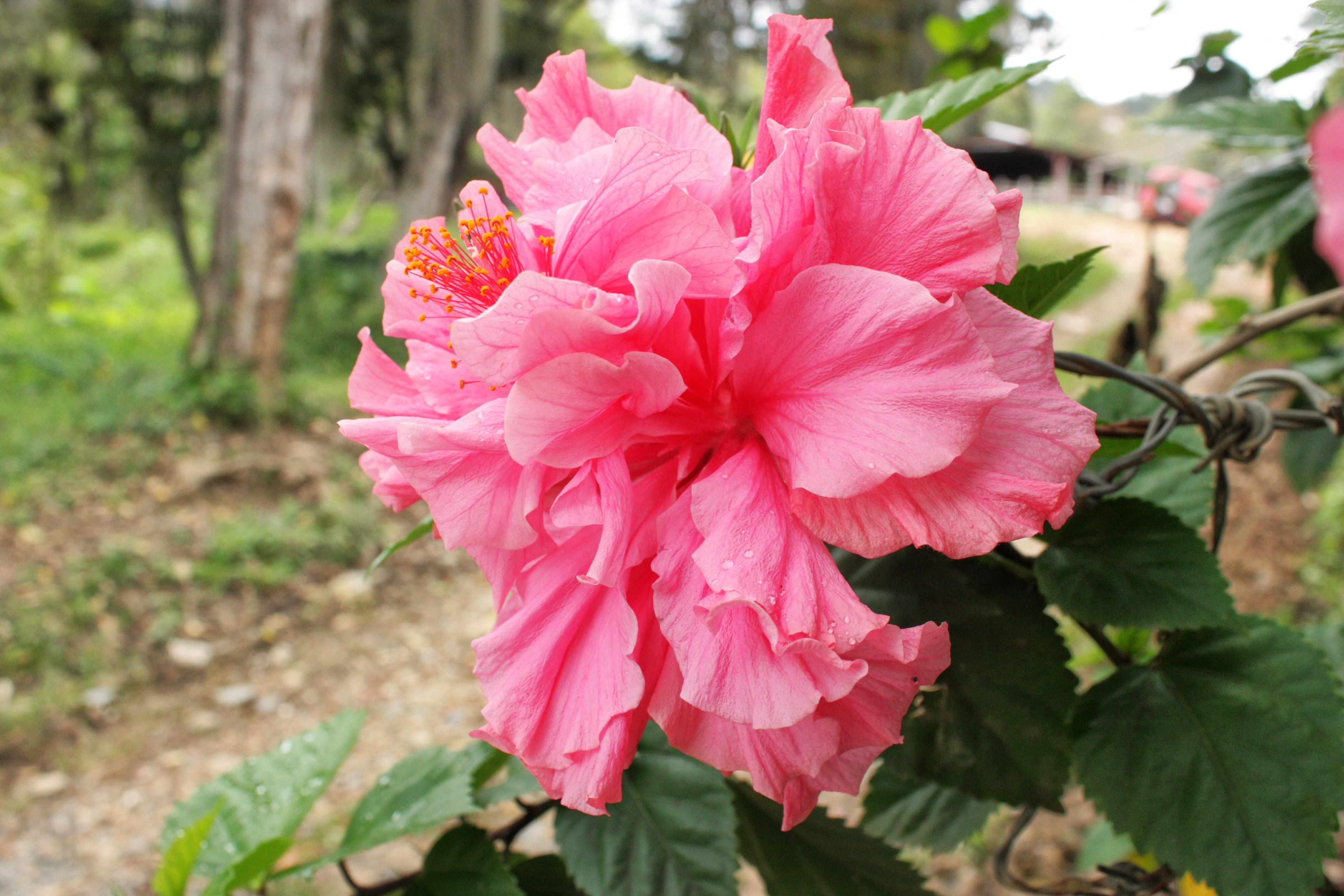 #flor rosada