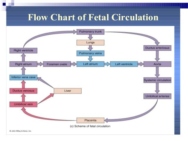 fetal circulation flow chart - google search | fetal midwifery, Muscles