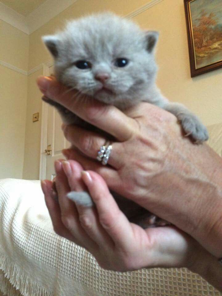 My New Lilac Girl Can T Wait To Bring Her Home Britishshorthair Lilacbritishshorthair Bsh