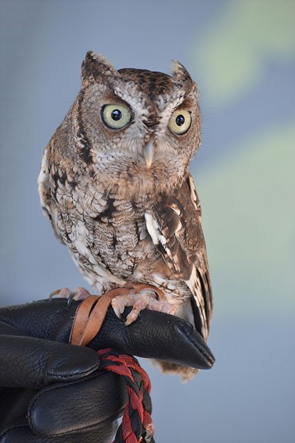 Screech Owl is posing... except when he turns his head completely around!