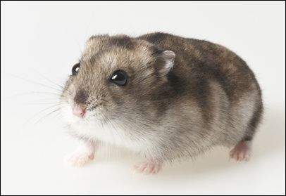About Winter White Hamster Types, Care, And Food Listing