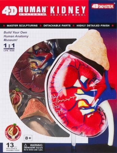 4d Master Human Anatomy Kidney Model Kit One Color 4d Ma