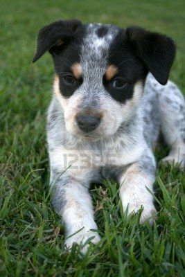 6 Week Old Blue Heeler Puppy Dog Heeler Puppies Dog Breeds Blue Heeler Dogs