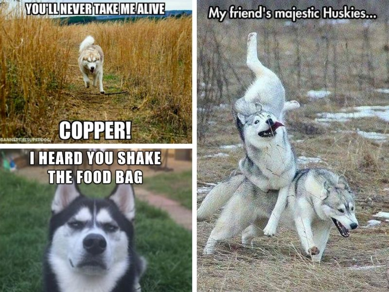 26 Of The Best Siberian Husky Memes Husky Animal Pictures Animals