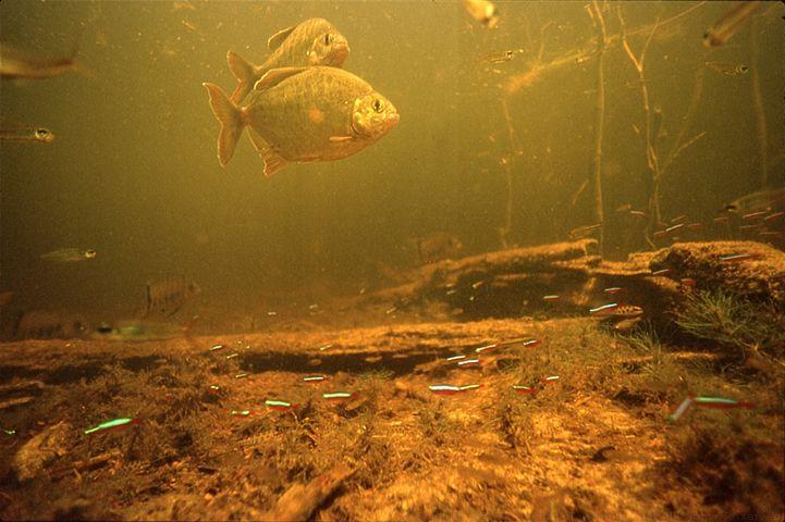 Amazon underwater photographs steve 39 s for Amazon fish tank