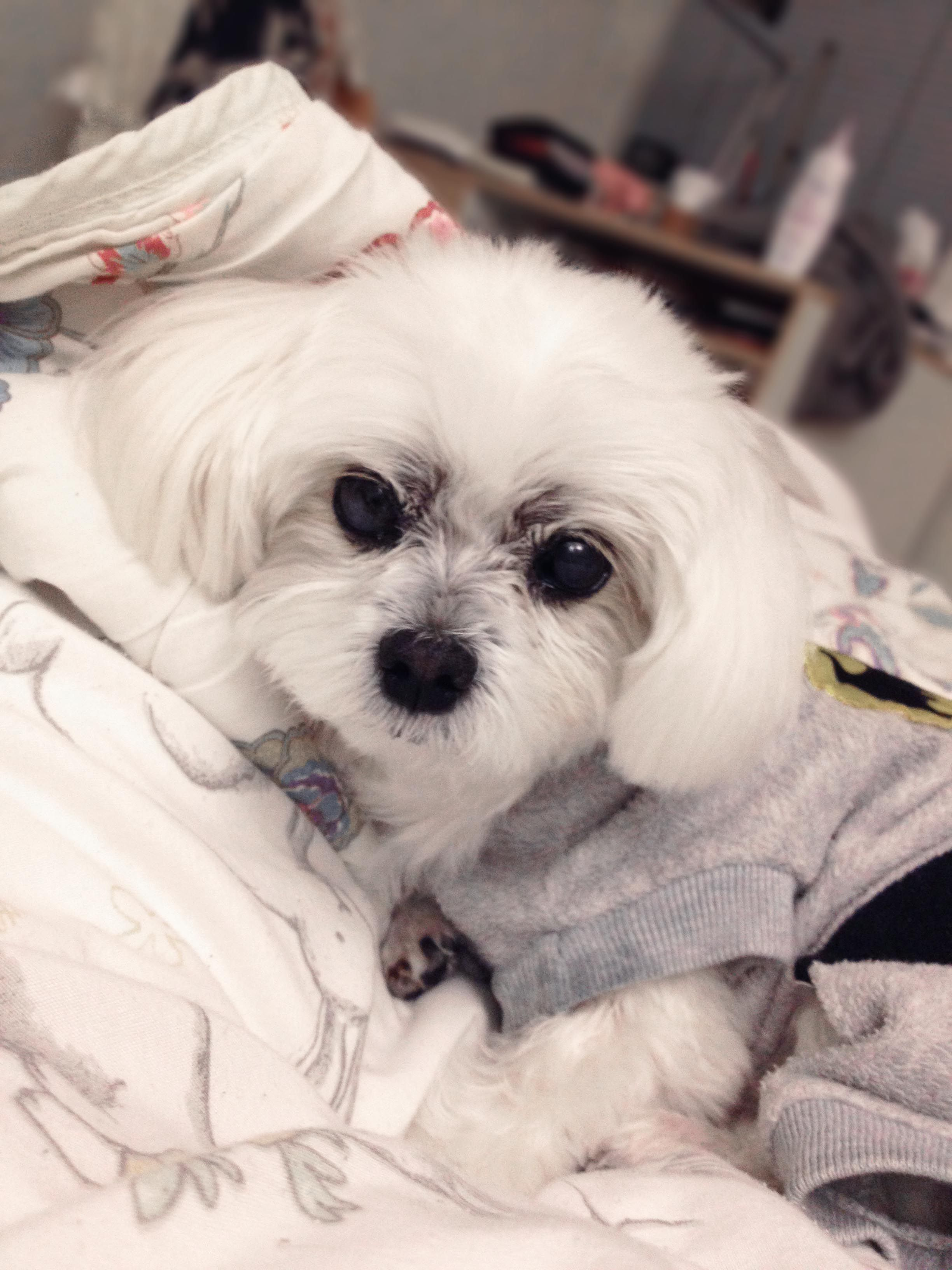 Happy in bed. Cutest maltese dog! (With images) Teacup