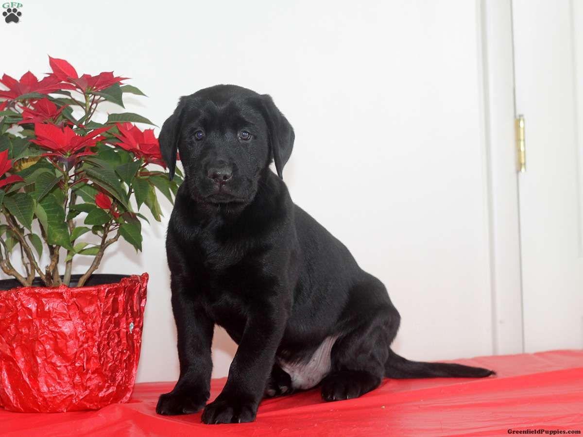 Kip Black Labrador Retriever Puppy For Sale in