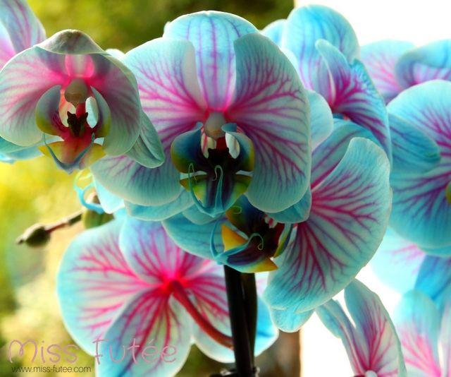 orchidee bleu et rose