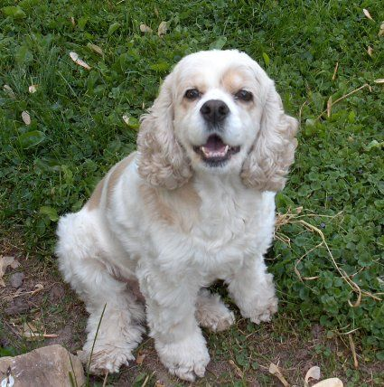 White Golden Cocker Spaniel Someday I Will Get One Just Like This Cocker Spaniel Dog Cocker Spaniel Puppies Puppy Snuggles