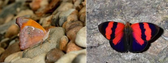 Temenis pulchra Por; Learn about butterfly