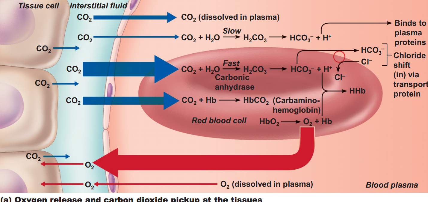 hight resolution of systemic gas exchange is the unloading of o2 and co2 at the systemic capillaries carbon