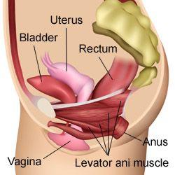 Levator anus muscles