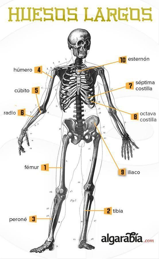 Los huesos más largos del cuerpo #infografia #infographic | Anatomía ...