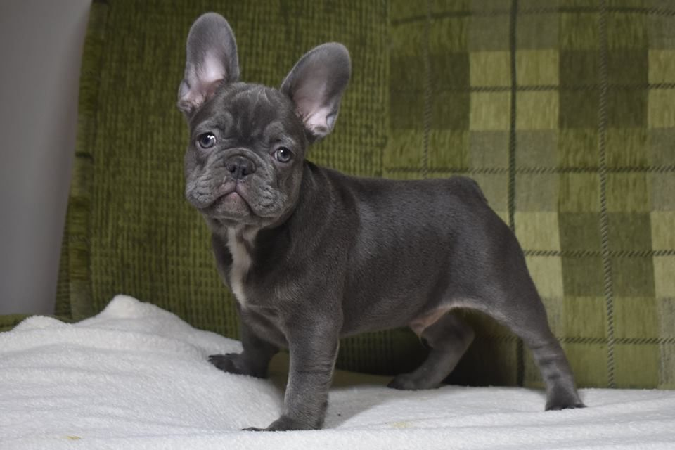 Pin By Mabel Morales Pawspuppy Com On French Bulldog Training Tips French Bulldog Puppies Bulldog Puppies French Bulldog
