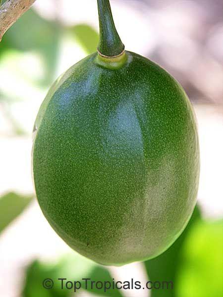 Amphitecna latifolia, Enallagma latifolia, Dendrosicus latifolius, Crescentia latifolia, Black Calabash, Jicarillo, Savanna Calabash