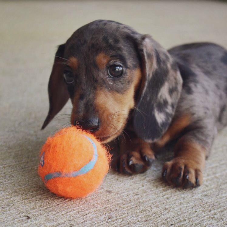 Dapple Miniature Dachshund Puppy Dapple Dachshund Dachshund Breed Clever Dog