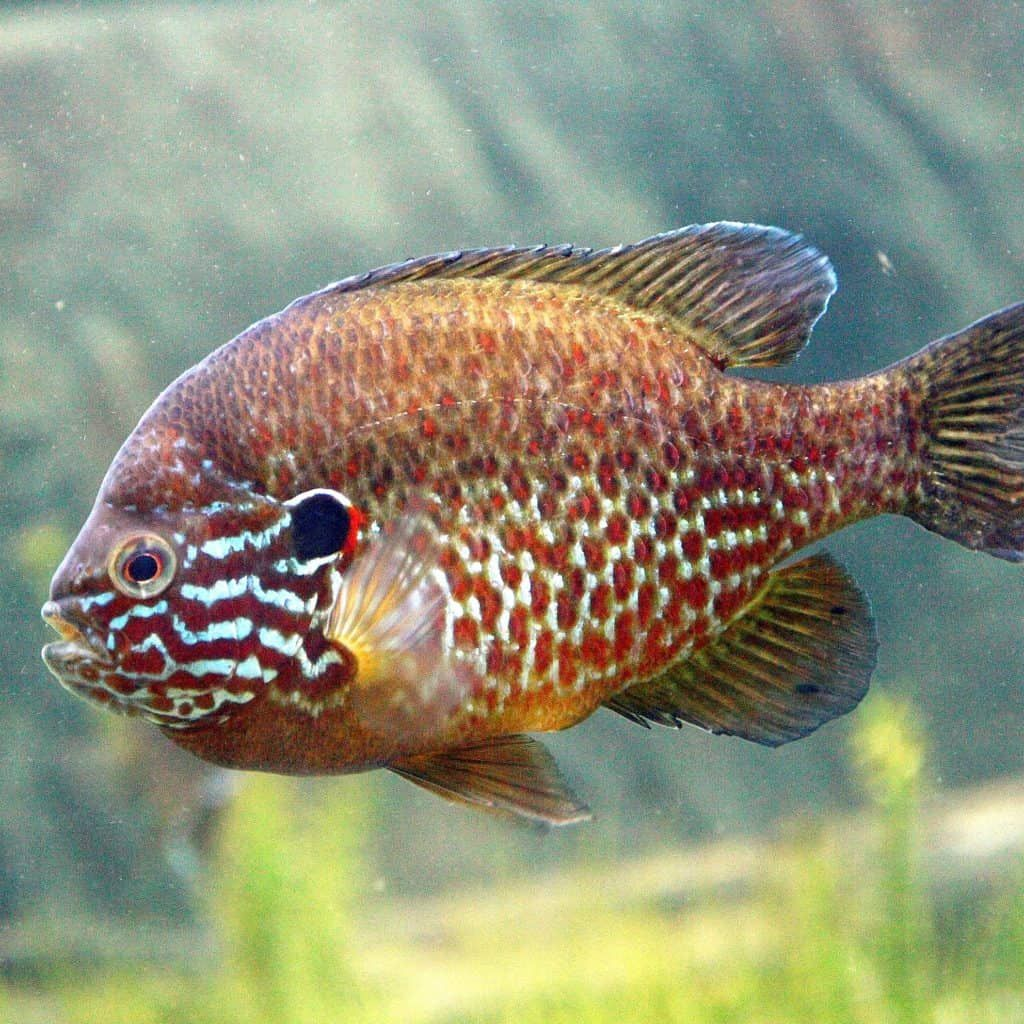 Best Types Of Pond Fish For Outdoor Ponds Big Small Fish Pond Informer In 2020 Small Fish Pond Fish Freshwater Aquarium Fish
