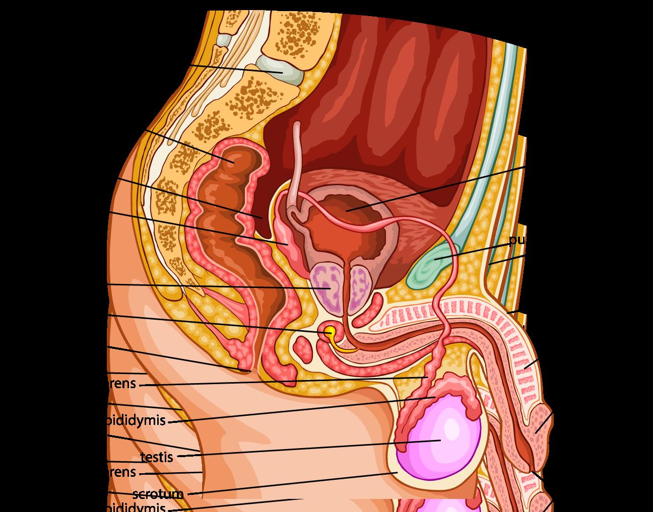 Bio 25 01 male reproductive parts urology male pinterest bio 25 01 male reproductive parts pooptronica Choice Image