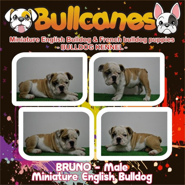 Bruno male miniature english bulldog puppy for sale www