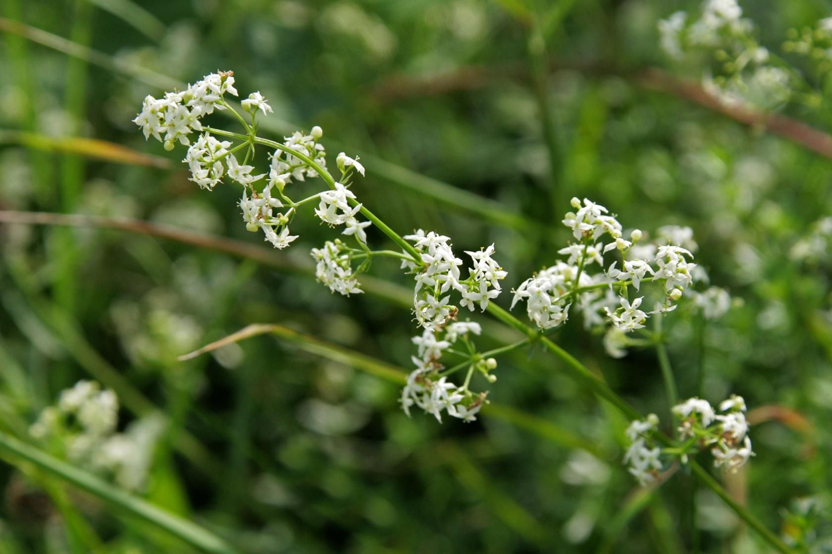 Hedge Bedstraw Galium Album Perennial The Tiny White Flowers