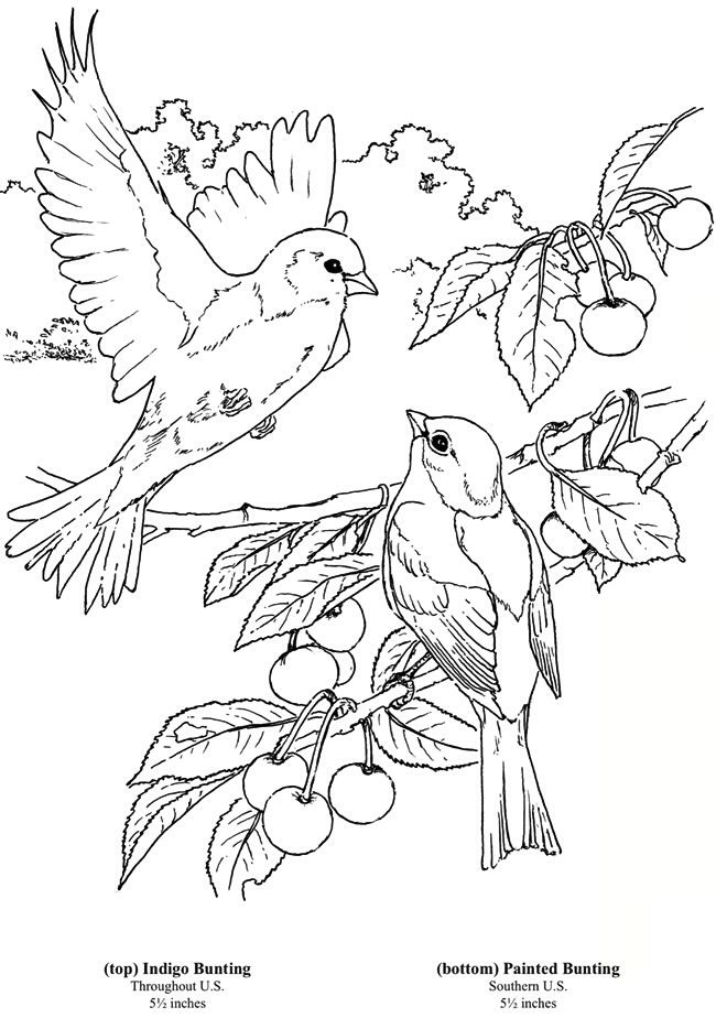 Birds 1 Indigo Painted Bunting Coloring Page Coloring Books