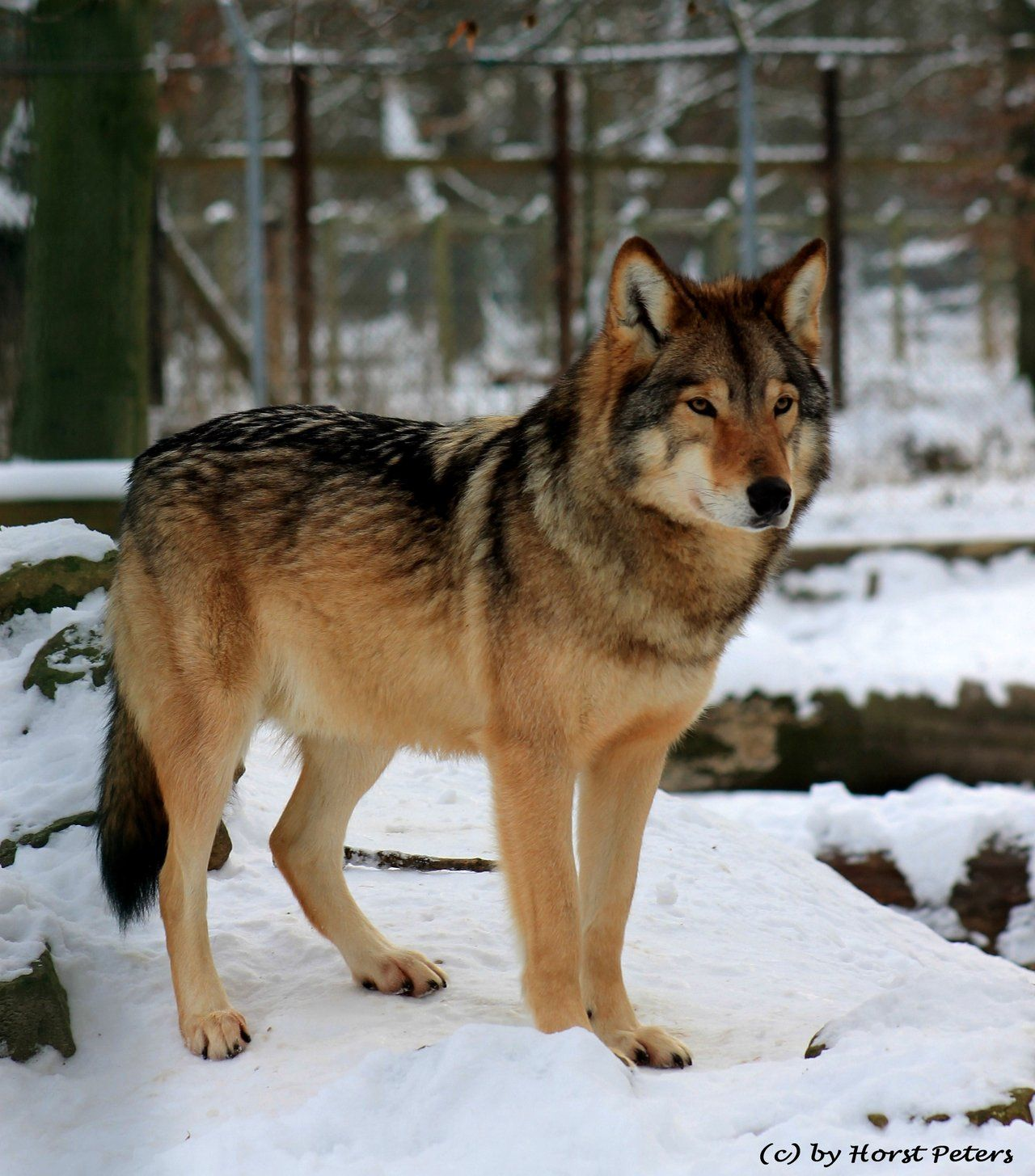номер сутки окрасы волков фото псы для
