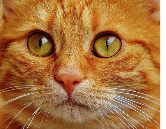 Orange Tabby Cat Cross Stitch Pattern Chart By Nicoinstitches