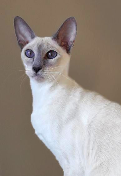 Rare Violet Point Siamese Siamese Cats Siamese Cats Blue Point Oriental Cat