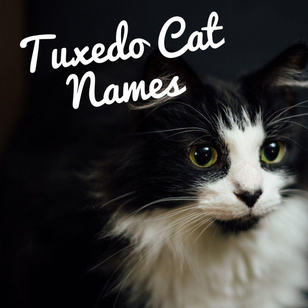 120 Best Names For Black And White Tuxedo Cats Whitekittens