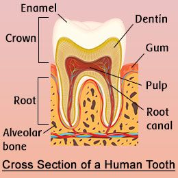 Human Tooth Anatomy With Labeled Diagrams Teeth Anatomy Human Teeth Human
