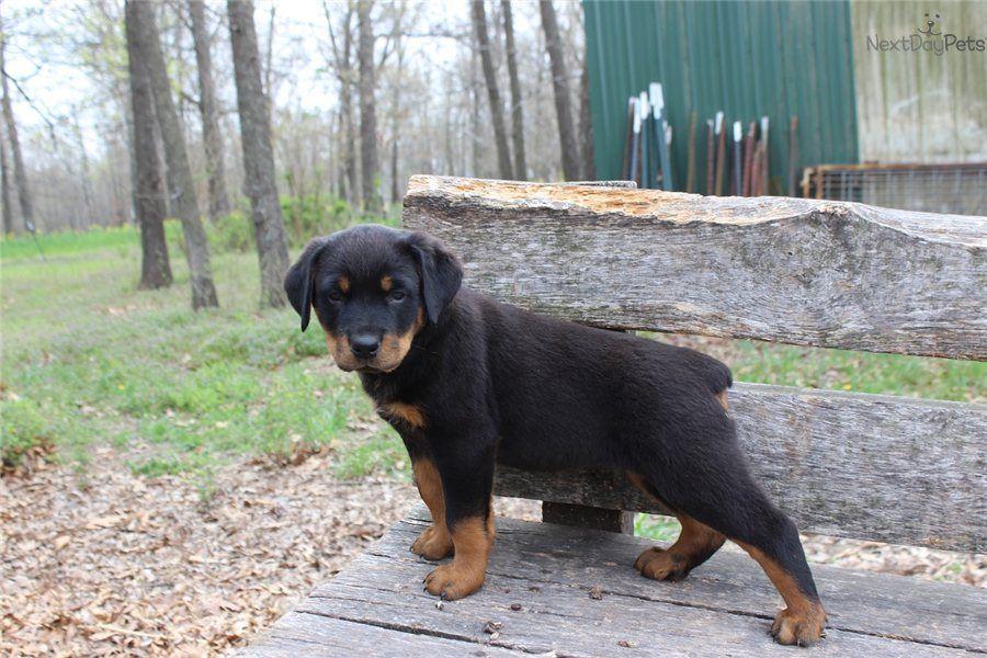 Sadie Rottweiler Puppy For Sale Near Springfield Missouri