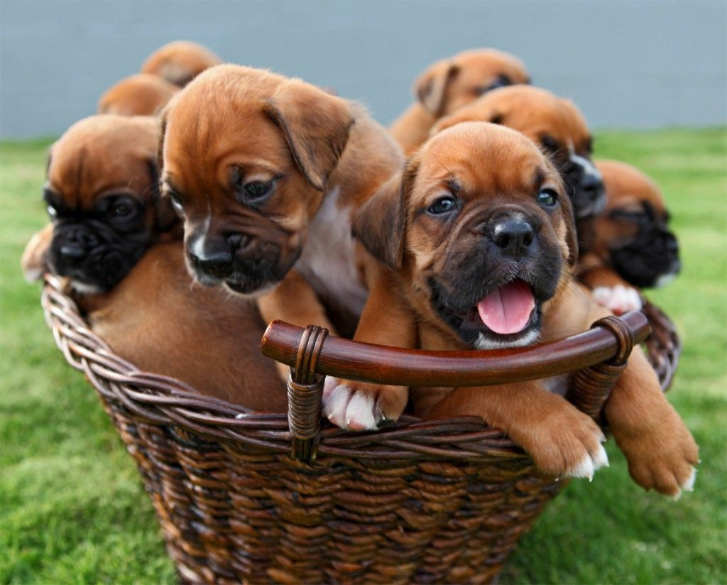 A Basket Full Of Boxer Puppies Boxer Puppies Boxer Puppy Boxer Puppies For Sale