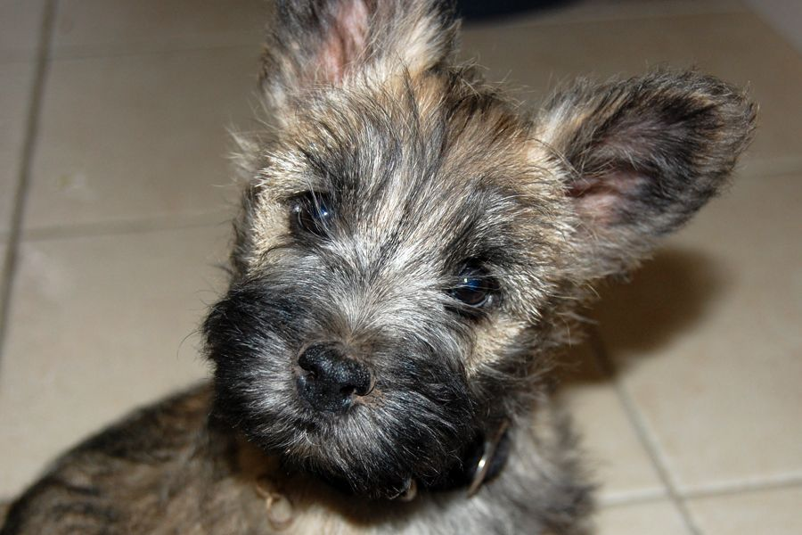This Is Leo My 10 Week Old Cairn Terrier Puppy Can You Say Awwww