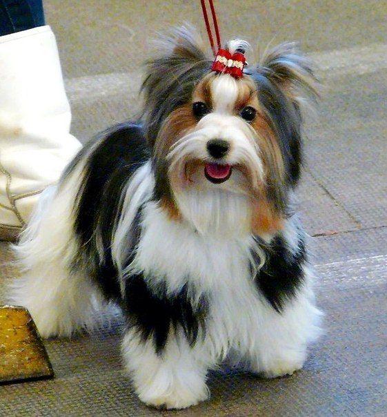 Biewer Yorkshire Terrier Йоркширтерьеры, Забавные