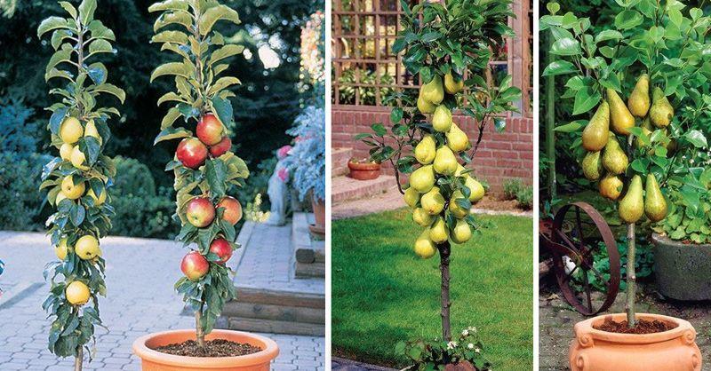 4cd06b2b4d831f48a6f6f631d51e76b2 - Columnar Fruit Trees For Small Gardens