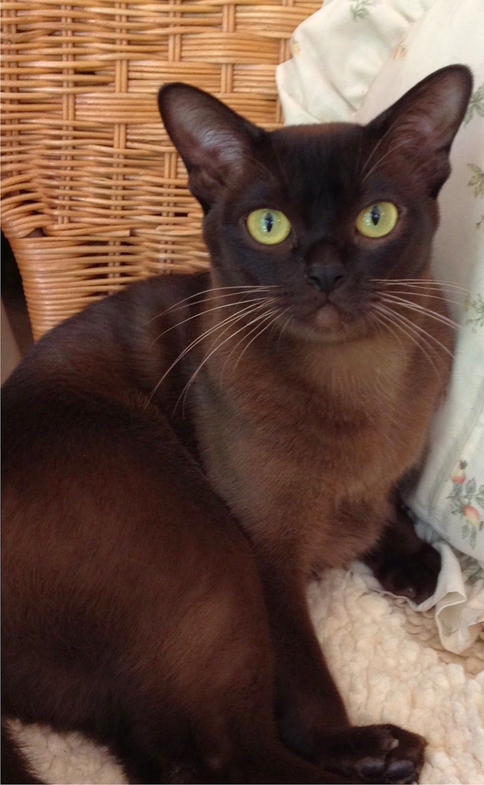 5 Most Affectionate Cat Breeds The List Might Surprise You Cat Breeds Burmese Cat Cats