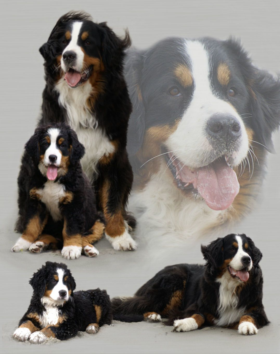 My Gina... ( wish my pro photographer husband would take a portrait like this of our Berner!)