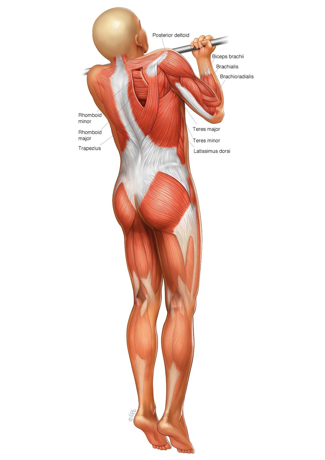 chin-up-anatomy | PULLUPS - ROWING | Pinterest | Training exercises ...