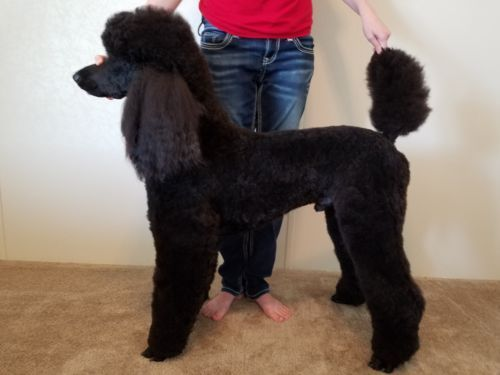 Akc Ukc Standard Poodle Stud Standard Poodle Poodle Dog Poodle