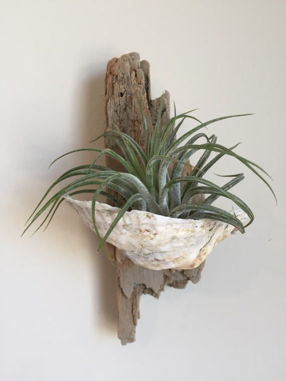 superb wall plant holders. Air Plant Holder  Driftwood and Oyster Shell with Wall Art Decoration