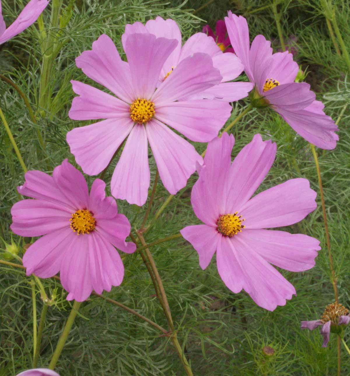 Pinkie Cosmos Flower Seeds Annual Flowers Cosmos Flowers