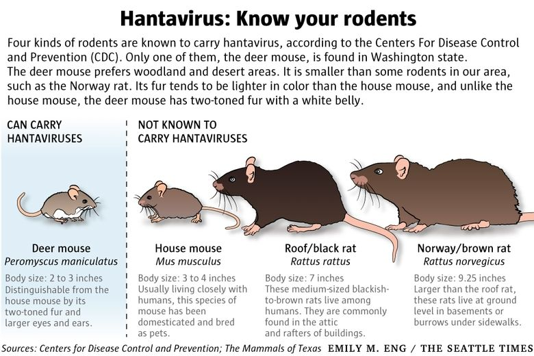 Deer mice: Cute, but potentially deadly carriers of hantavirus ...
