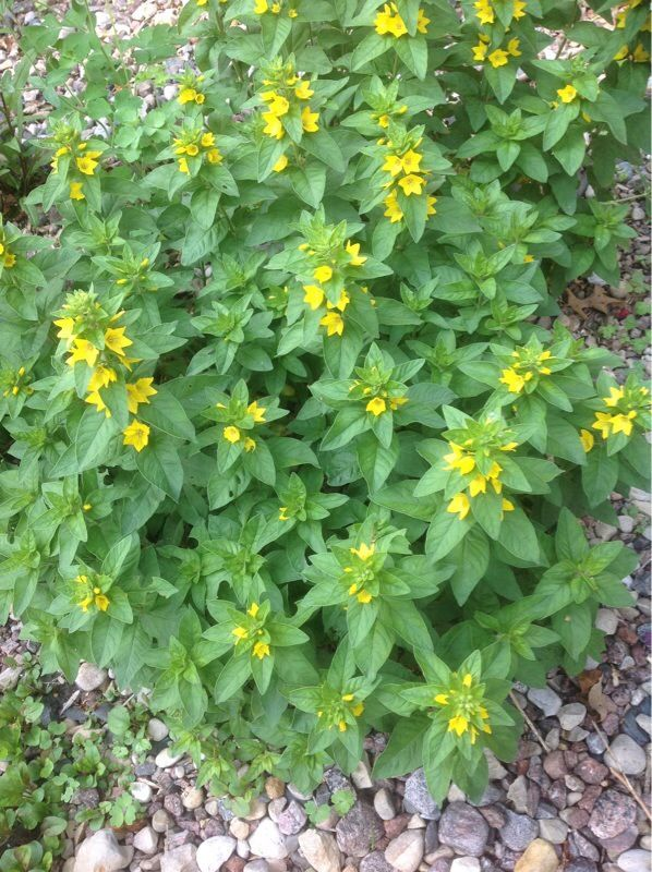 Yellow Lysimachia Punctata The Tall Plant W Flowers Is A