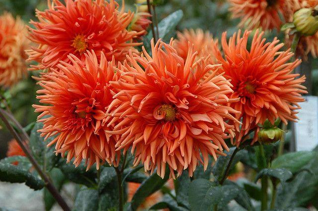 DSC_5837 Dahlias - San Francisco Conservatory of Flowers