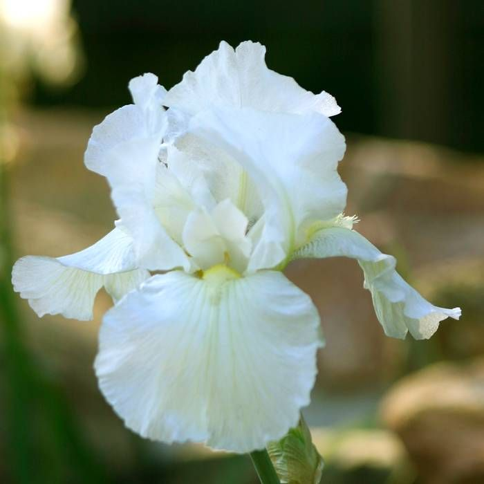 iris germanica white 1 plant buy online order now plants pinterest flower yellow and irises. Black Bedroom Furniture Sets. Home Design Ideas