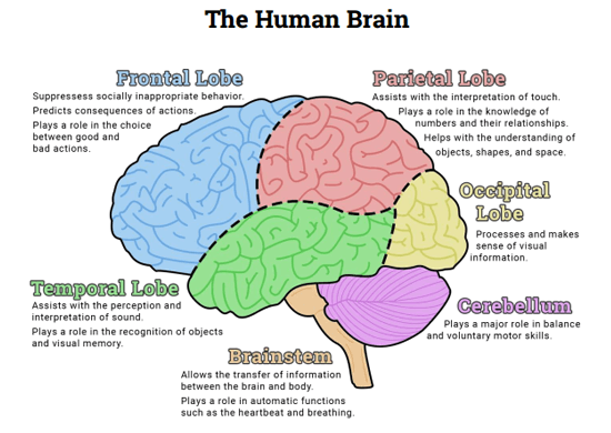 the human brain (diagram) (worksheet loves human brain Printable Diagram of the Brain