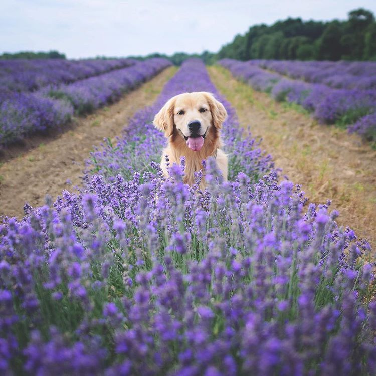Labrador Retriever In The Lavender Fields At La Maison Lavande