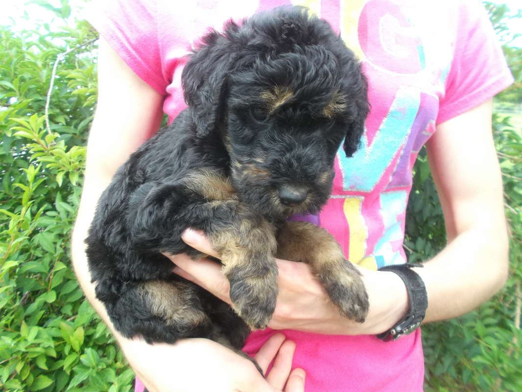Airedale Poodle Cross Airedoodle In Greenville Michigan Hoobly